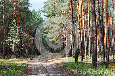 Rural road in coniferous forest thicket