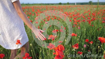 Rural scene, female hand stroking red poppies flowers. Large field of wild poppies, beauty nature concept stock video