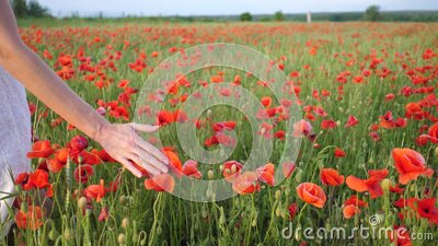 Rural scene, female hand stroking red poppies flowers. Large field of wild poppies, beauty nature concept stock video footage