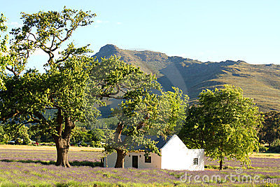Rural scene with lavender field, South Africa