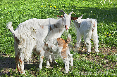 Rural scene with mother goat