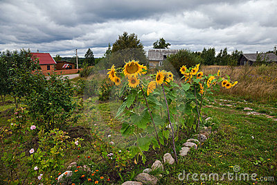 Rural scene with sunflowers