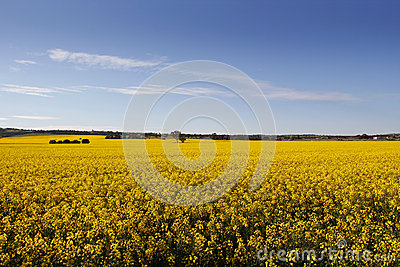 Rural sea of Canola