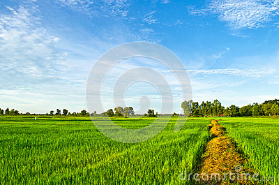 Rural Way through fields with wheat