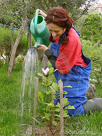 Rural woman watering planted magnolia
