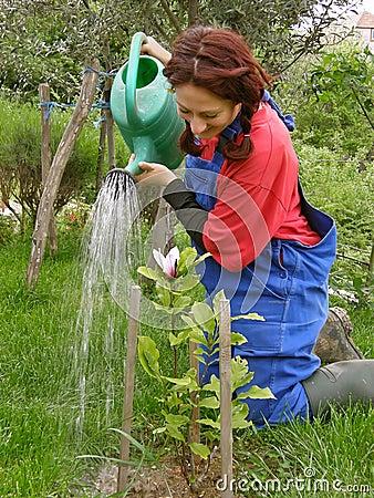 Rural woman watering planted magnolia