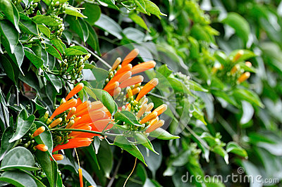 Russelia flowers