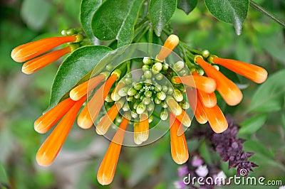 Russelia flowers in detail