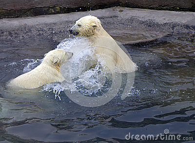 Russia. Moscow zoo. The polar bear.