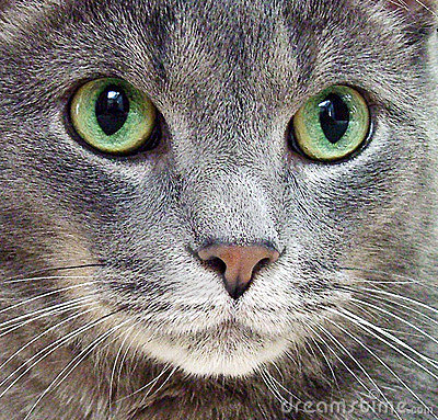 Free Russian Blue Cat Royalty Free Stock Image - 80146