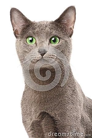 Free Russian Blue Cat Stock Photo - 9256430