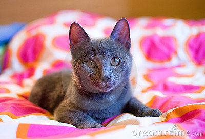 Russian Blue - cute kitten