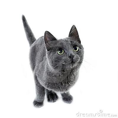 Russian blue kitten