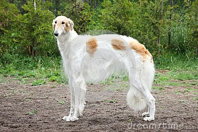 A Borzoi Dog Russian Borzoi Greyhound Dog