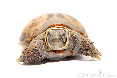 Russian or Central Asian tortoise, 30 years old