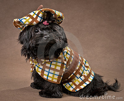 Russian color lap dog in the dress