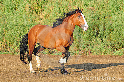 Russian draft horse in paddock