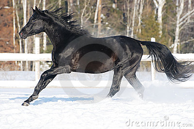 Russian riding horse runs gallop in winter