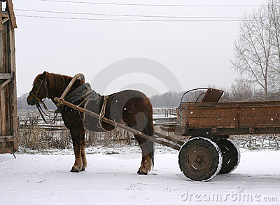 A Russian shire horse
