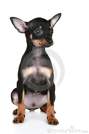 Russian sleek-haired toy terrier puppy