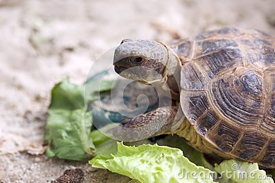 Russian tortoise