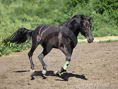 Russian trotter