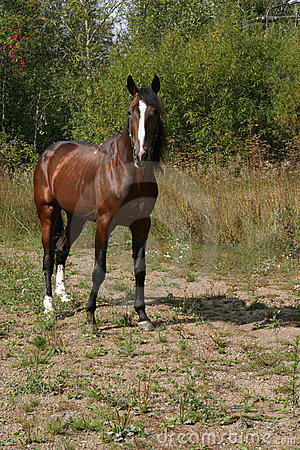 Free Russian Trotter Royalty Free Stock Image - 227486