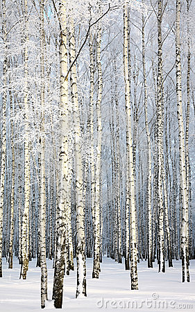 Russian winter - Birch Grove on blue sky background