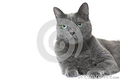 Russische blaue Katze, die auf lokalisiertem Weiß liegt