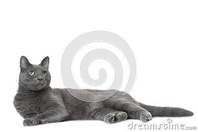 Russische blaue Katze, die auf Weiß liegt