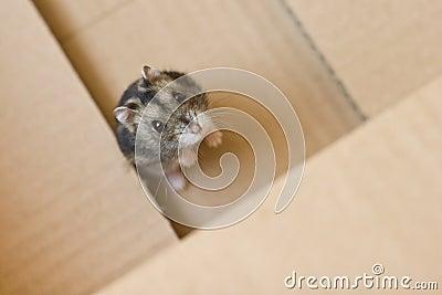 Stock foto s russische hamster