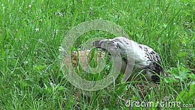 Russo da raça da galinha crested procurando o alimento filme