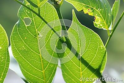 Rust leafs