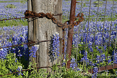 Rusty Fence and Bluebonnets