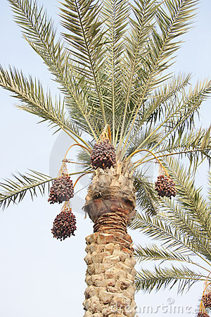 Rutab and tamr stages ripen dates on the tree