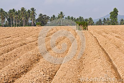 Rutted soil cultivation for cassava