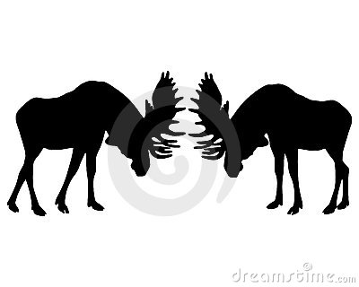 Rutting behavior of moose