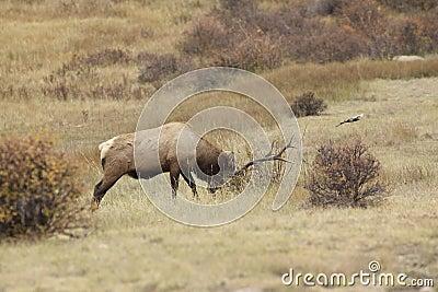 Rutting Bull Elk
