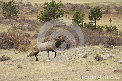 Rutting Bull Elk Bugling