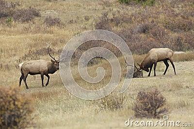 Rutting Bull Elk Face Off