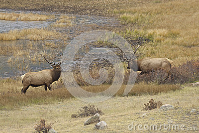 Rutting Bull Elk Showing Off