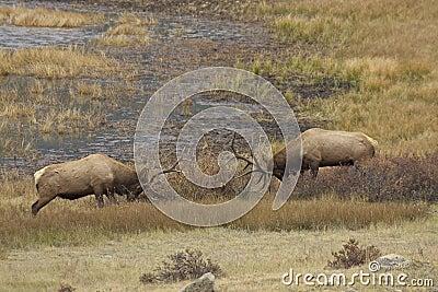 Rutting Bull Elk Sparring