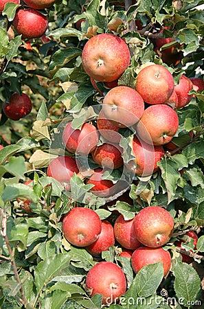 Árvore de Apple