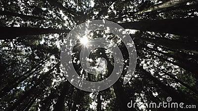 A ?rvore de Cypress coroa com o Sun que brilha atrav?s da floresta na ?rea c?nico de Alishan, Taiwan vídeos de arquivo