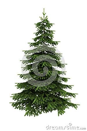 Árvore Spruce isolada no fundo branco