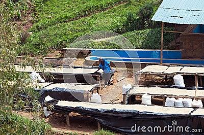 Rwandan coffee washing and dry station Editorial Stock Image