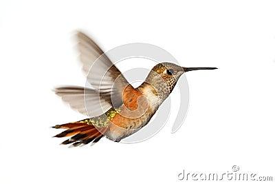Ryży Hummingbird (Selasphorus rufus)