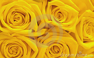 Róży kolor żółty