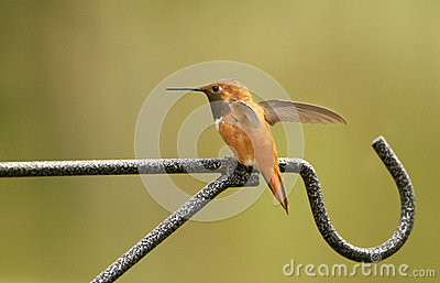 Ryża hummingbird samiec