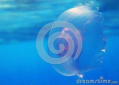 Rybi galaretowy czerwony morze